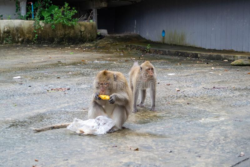 Wildlife photography. Monkey eats pineapple. Koh Chang, Thailand royalty free stock photos