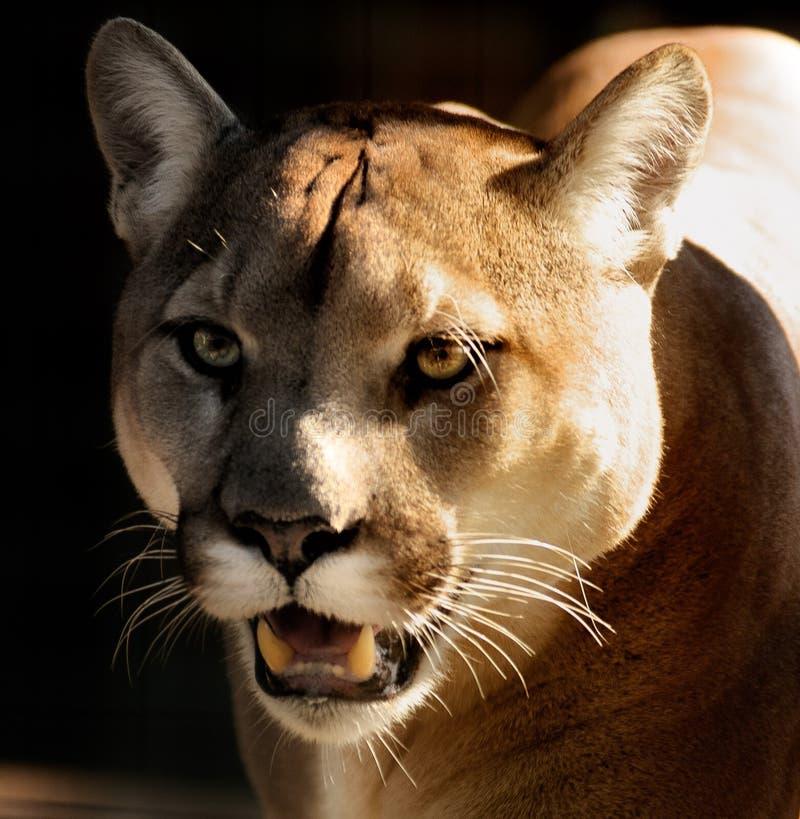 Free cougar photos
