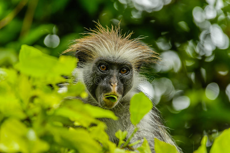 Wildlife - Red Colobus. African wildlife, portait of a Red Colobus monkey at Jozani National Park Zanzibar, Tanzania royalty free stock photos