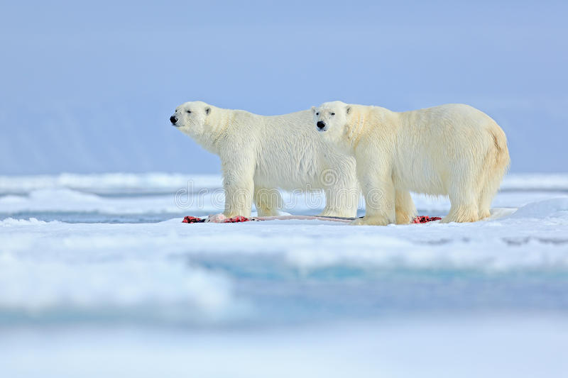Wildlife scene from Arctic nature with two big polar bear. Couple of polar bears tearing hunted bloody seal skeleton in Svalbard. Wildlife scene from Arctic stock photo