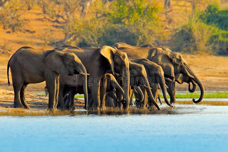 Wildlife scene from nature. A herd of African elephants drinking at a waterhole lifting their trunks, Chobe National park, Botswan stock photo