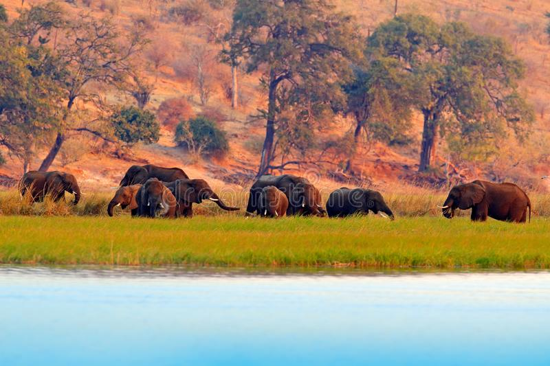 Wildlife scene from nature. Lake with big animals. A herd of African elephants drinking from river, lifting their trunks, Chobe stock images