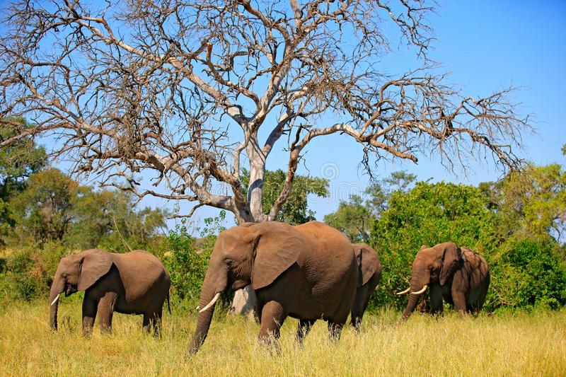 Wildlife scene from nature. Lake with big animals. A herd of African elephants drinking from river, lifting their trunks, Kruger royalty free stock photography