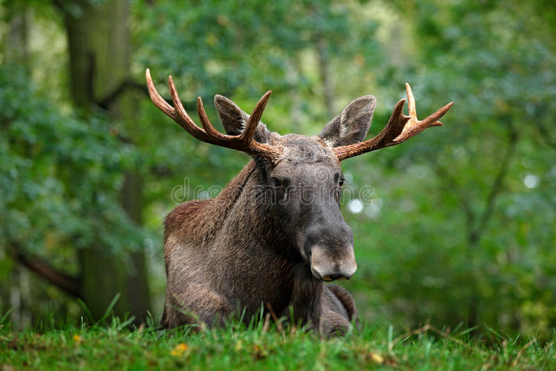 Wildlife scene from Sweden. Moose lying in grass under trees. Moose, North America, or Eurasian elk, Eurasia, Alces alces in the d. Wildlife scene from Sweden stock photo