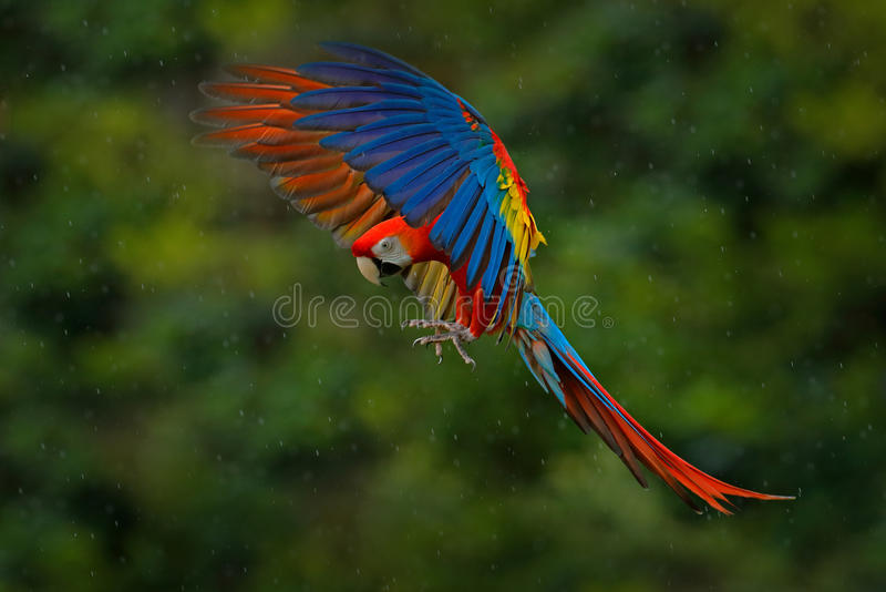 Wildlife scene from tropic nature. Red bird in the forest. Parrot flight. Red parrot in rain. Macaw parrot fly in dark green veget stock photo