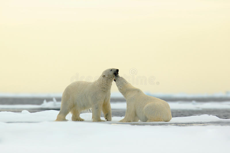 Wildlife scene with two polar bears from the Arctic. Two Polar bear couple cuddling on drift ice in Arctic Svalbard. Bear with royalty free stock image
