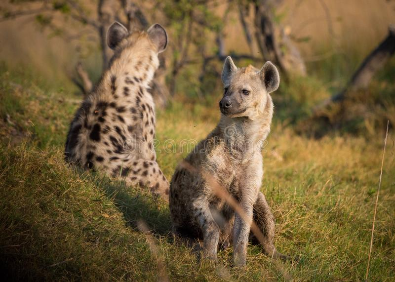 Wildlife, Terrestrial Animal, Hyena, Mammal stock photo