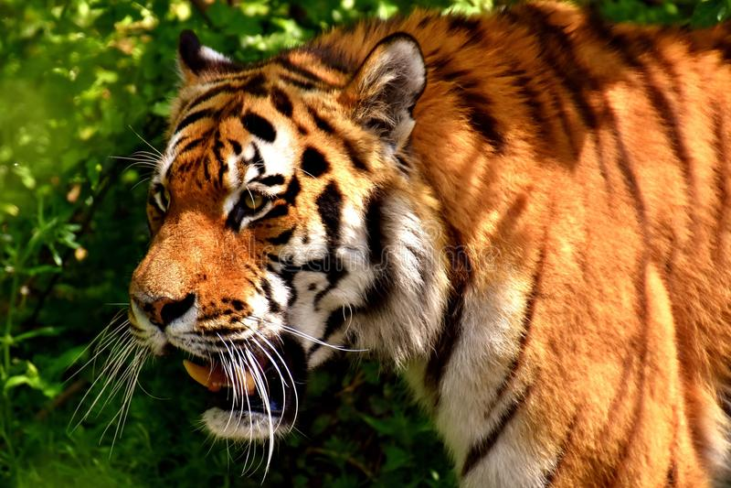 Wildlife, Tiger, Mammal, Terrestrial Animal royalty free stock photo