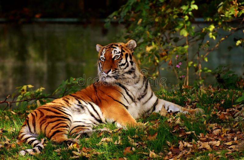 Wildlife, Tiger, Mammal, Terrestrial Animal Free Public Domain Cc0 Image
