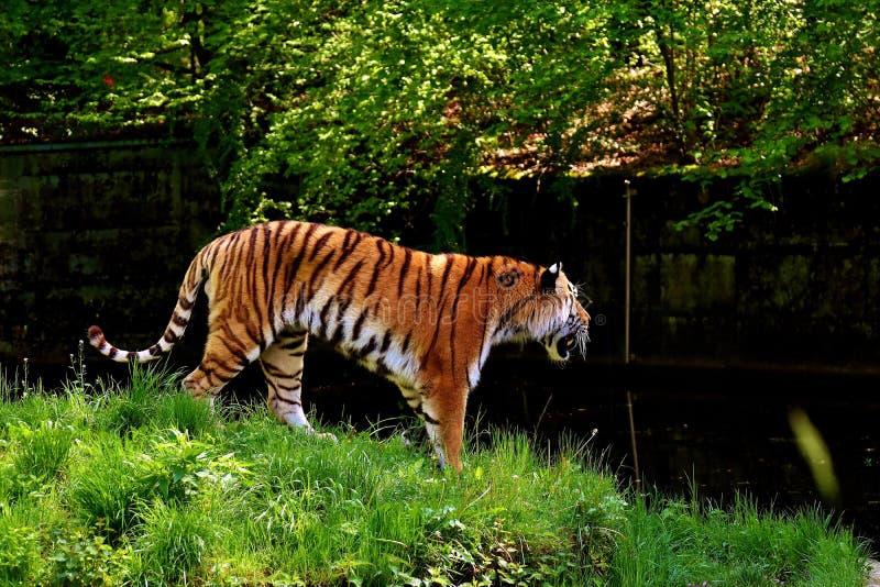 Wildlife, Tiger, Mammal, Wilderness Free Public Domain Cc0 Image