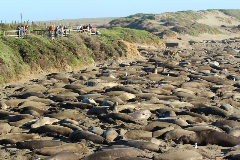 Wildlife watching, northern elephant seal rookery at Piedras Blancas, near San Simeon, California, USA royalty free stock photo