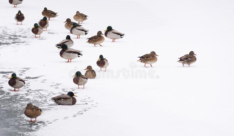 Wildlife in winter. Ducks on ice near river in cold sullen weather royalty free stock image