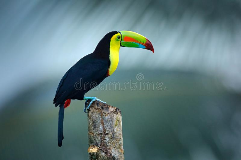 Wildlife from Yucatán, Mexico, tropical bird. Toucan sitting on the branch in the forest, green vegetation. Nature travel holiday. In central America. Keel royalty free stock photo