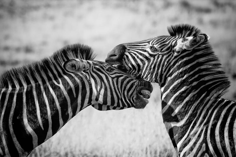 Wildlife, Zebra, White, Black And White royalty free stock photography