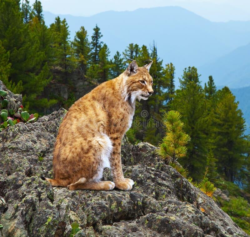 Wildness Lynx зоны Стоковая Фотография RF