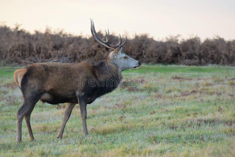 Deer feels best in the wild stock photos