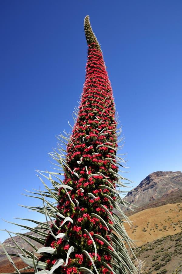 Wildpretii d'Echium dans Tenerife, Îles Canaries. photographie stock