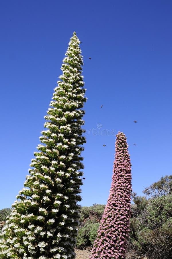 Wildpretii del Echium en Tenerife, islas Canarias. imagenes de archivo