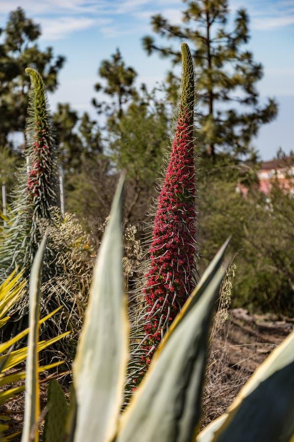 Wildpretii hermoso end?mico del Echium del rojo de Tajinaste de la flor cerca de la l?nea del camino Parque nacional de Teide, Te foto de archivo libre de regalías