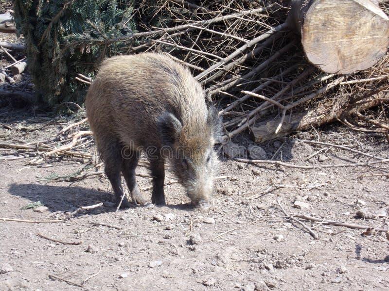 Wildschwein im Wald dans Nordhessen/verrat dans la forêt dans Hesse du nord images stock