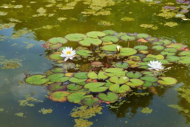 Wildwasserlilien, die oben auf einen geplätscherten Wasserabschluß schwimmen lizenzfreie stockfotos