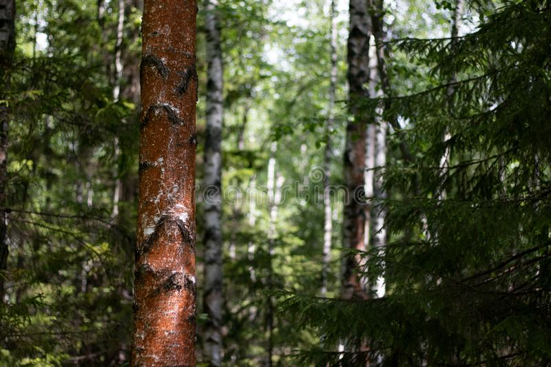 Wild calm forest view from the inside royalty free stock images