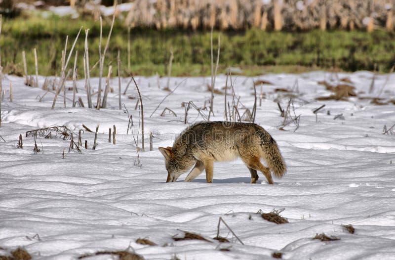 Wiley Coyote en Yosemite imagenes de archivo