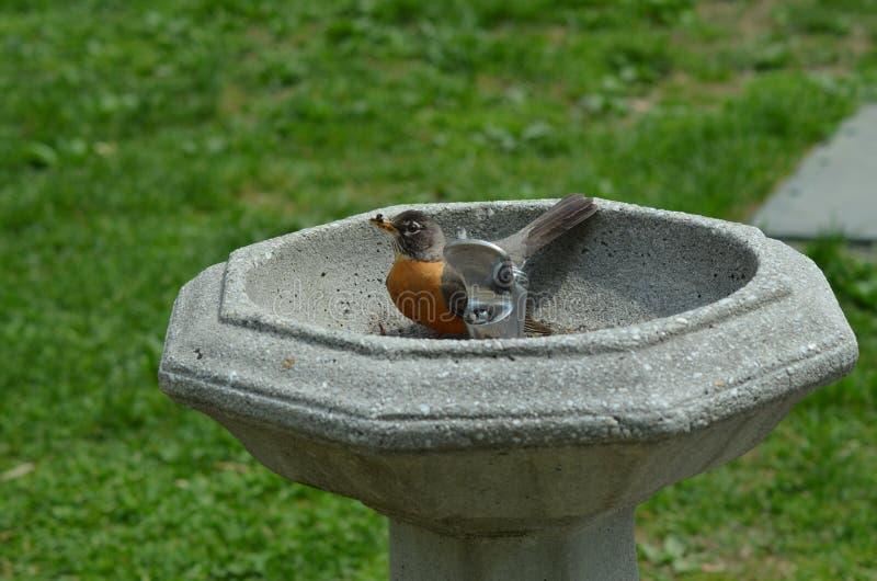 Wilga w fontannie ma skąpanie obraz stock