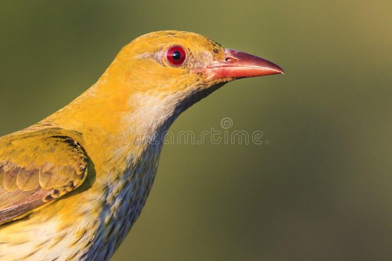 Wilga w górę portreta piękny ptak obraz royalty free
