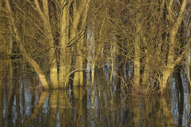 Wilgen op land overstroomd door de IJssel stock fotografie