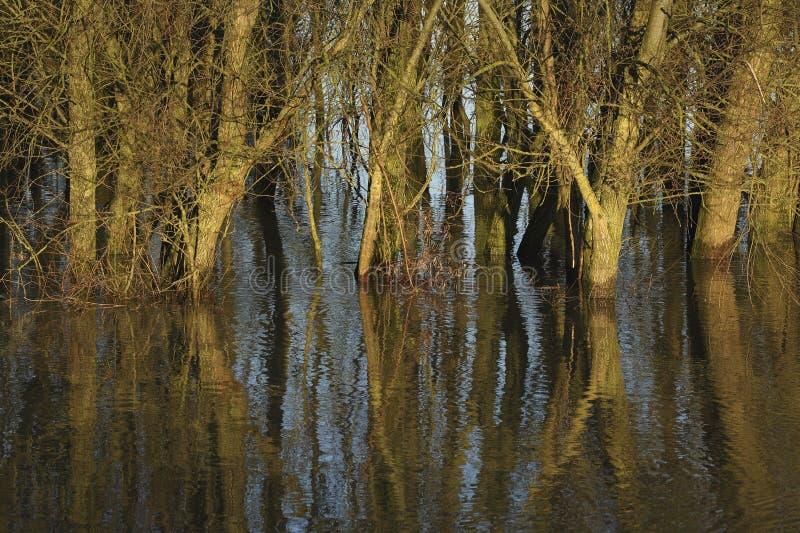 Wilgen op land overstroomd door de IJssel stock foto