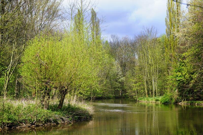 Wilgen op riverbank royalty-vrije stock foto's