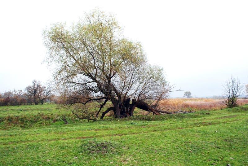 Wilgenboom met gele bladeren en grasopen plek en bos op de horizon stock foto's