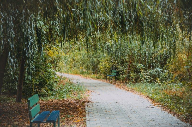 Wilgensteeg in het park in de herfst stock afbeeldingen