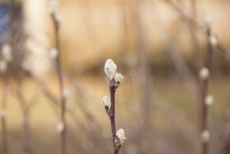 Wilgentakken met knoppen op de achtergrond van de de lentehemel stock foto's