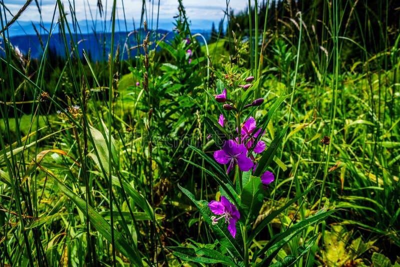 Wilgeroosje, purpere Wilde Bloemen op Tod Mountain royalty-vrije stock foto