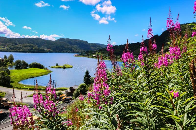 Wilgeroosjebloemen die in de Zomer bloeien royalty-vrije stock afbeelding