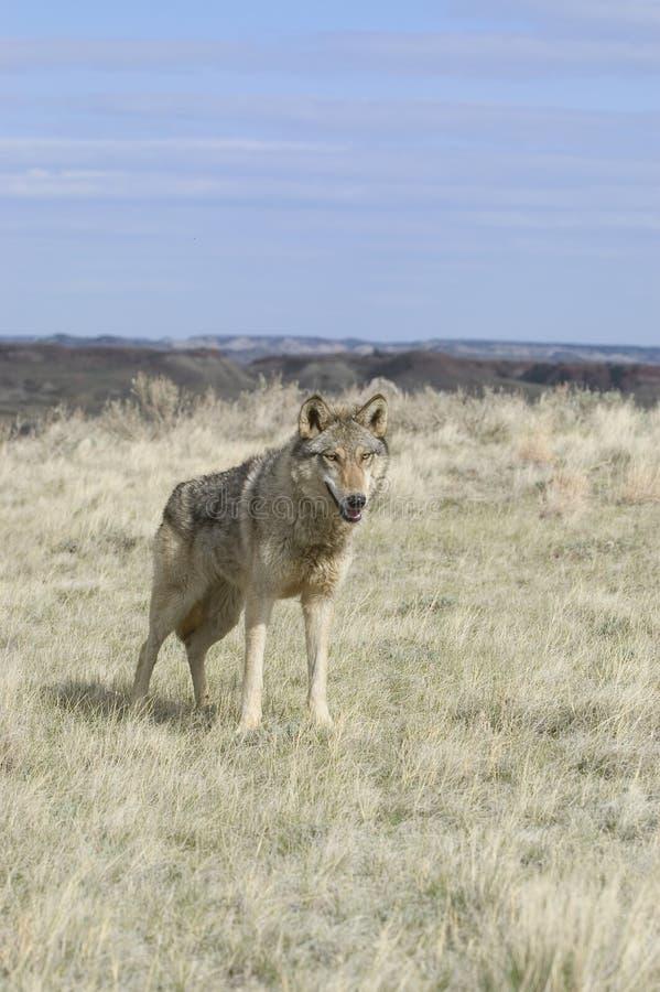 Download Wilk obraz stock. Obraz złożonej z vistula, wilk, zwierzę - 18239153