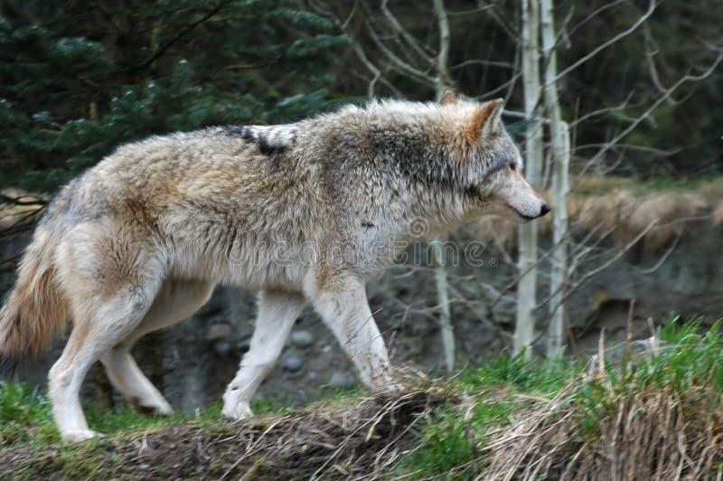 Download Wilk obraz stock. Obraz złożonej z carnivore, drewna, zwierzę - 4452389