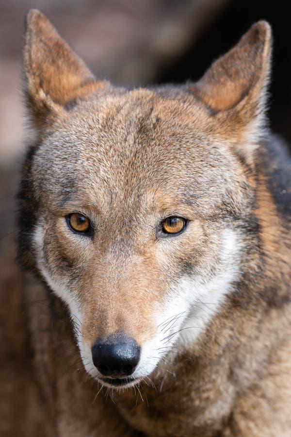 Wilk czerwony zdjęcia stock