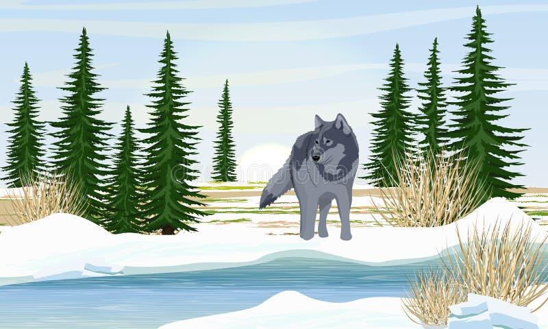 Wilk na brzeg rzekim Wiosna Brzeg w ?niegu, ?wierkowi drzewa, sucha trawa ilustracja wektor