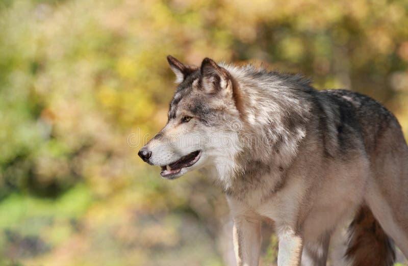 Wilk podczas jesieni obrazy royalty free