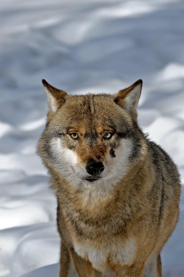 Wilk w śniegu fotografia stock