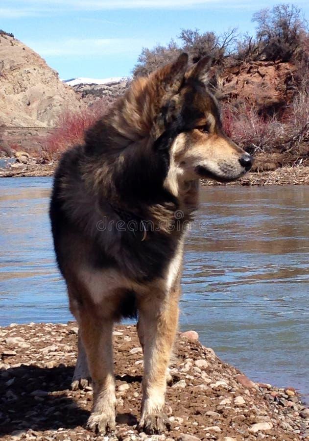 Wilk w górach Kolorado na Eagle rzece zdjęcia royalty free