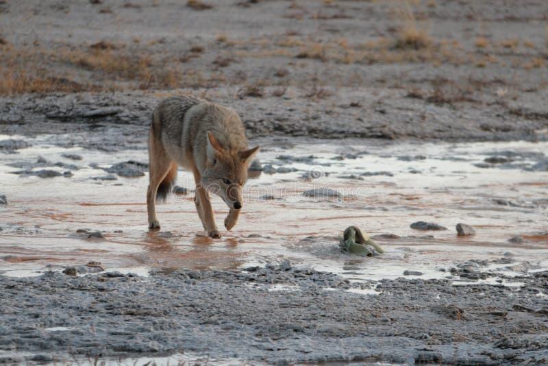 Wilk w Yellowstone parku narodowym zdjęcia royalty free