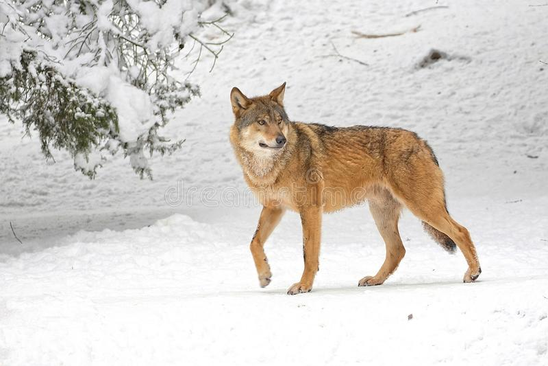 Wilk w zimie fotografia royalty free