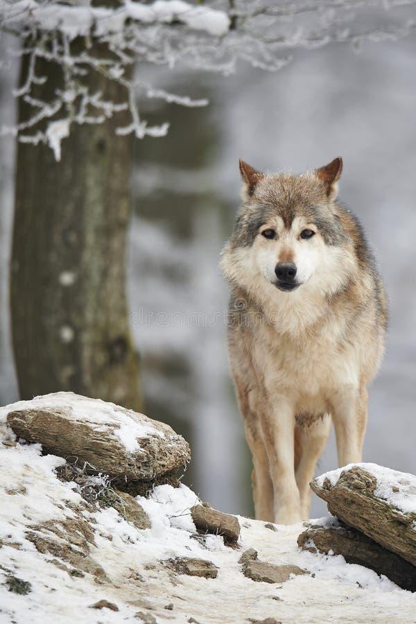 Wilk w zimie obrazy royalty free