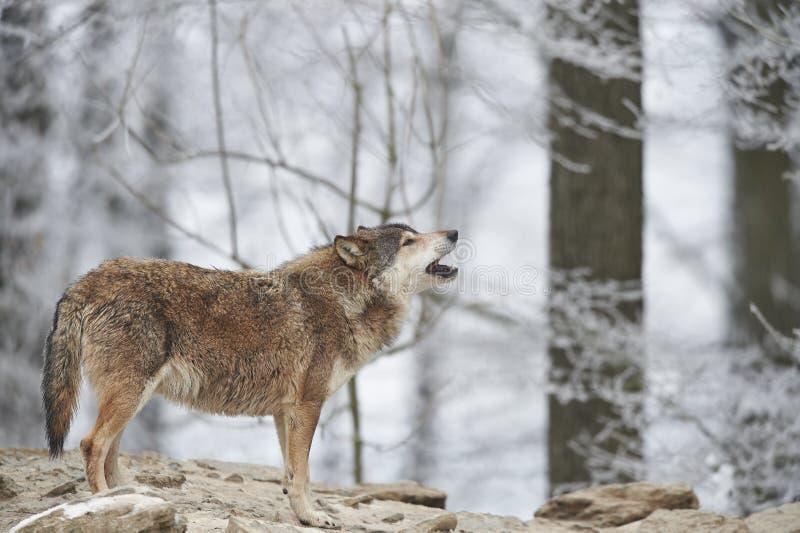 Wilk w zimie fotografia stock