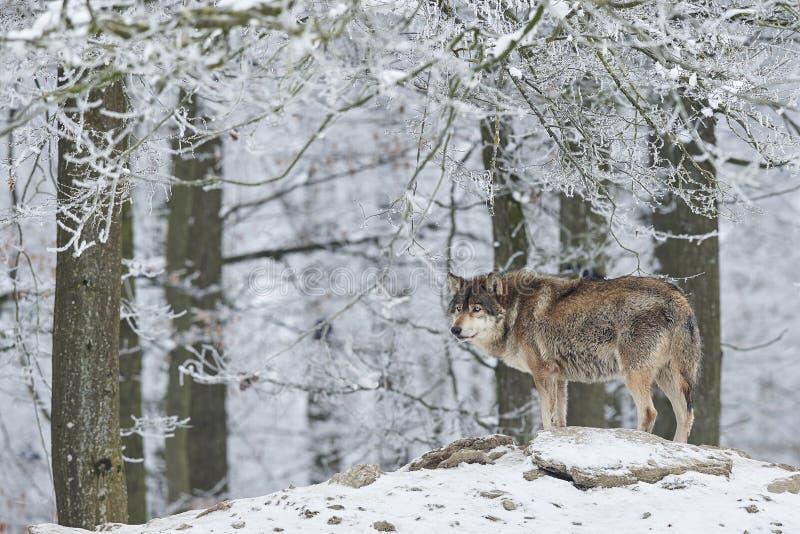 Wilk w zimie obraz royalty free
