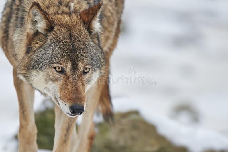 Wilk w zimie zdjęcia royalty free